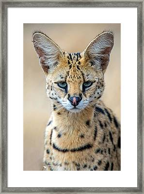 Close-up Of Serval Leptailurus Serval Framed Print