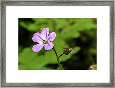 Close Up Of Shining Cranesbill A Framed Print