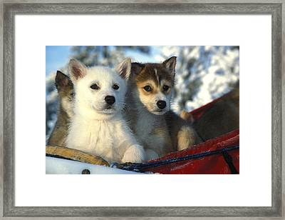Close Up Of Siberian Husky Puppies Framed Print by Nick Norman