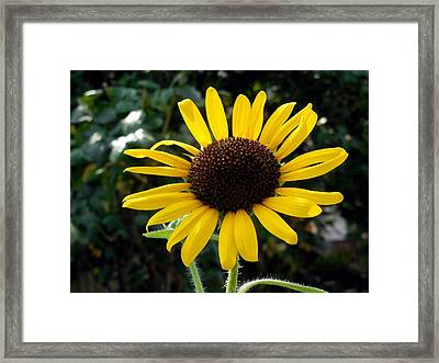 Close Up Of Sunflower Framed Print by Lanjee Chee