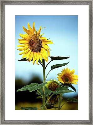 Close Up Of Sunflowers Framed Print by Philippe Doucet