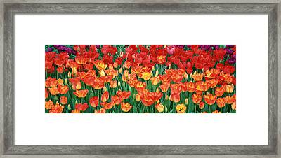 Close-up Of Tulips In A Garden Framed Print