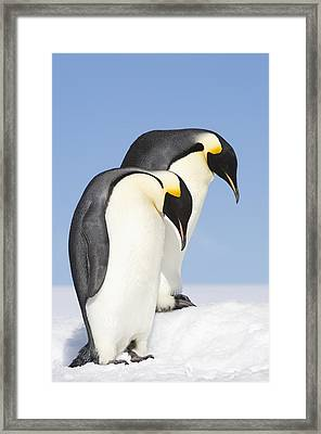 Close Up Of Two Adult Emperor Penguins Framed Print