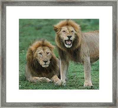 Close-up Of Two African Lions Panthera Framed Print