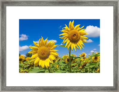Close Up Of Two Big Yellow Sunflowers Framed Print by Semmick Photo