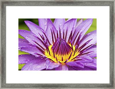 Close Up Of Violet Water Lily Framed Print