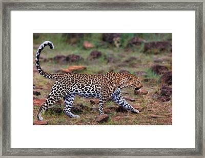 Close Up Of Walking Leopard Female Siri In Masai Mara, Kenya Framed Print