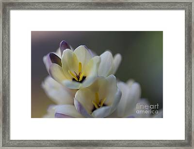 Close-up Of White Freesia Framed Print