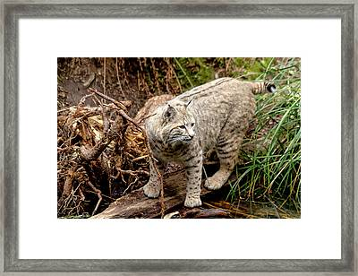 Close Up Of Wild Bobcat Framed Print