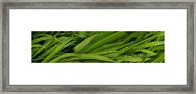 Close-up Of Wild Wet Grass Framed Print by Panoramic Images