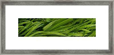 Close-up Of Wild Wet Grass Framed Print