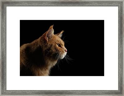 Close-up Portrait Ginger Maine Coon Cat Isolated On Black Background Framed Print by Sergey Taran