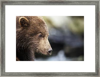 Close-up Portrait Of Coastal Brown Bear Framed Print by Paul Souders