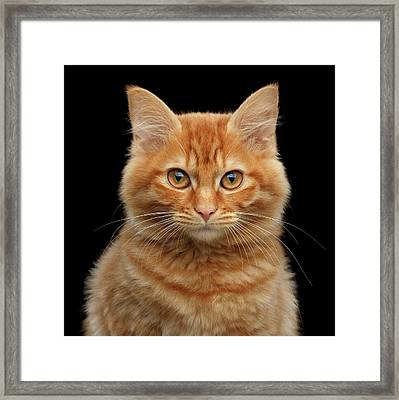 Close-up Portrait Of Ginger Kitty On Black Framed Print
