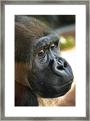 Close Up Portrait Of Gorilla Framed Print by Aaron Sheinbein