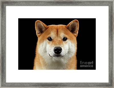 Close-up Portrait Of Head Shiba Inu Dog, Isolated Black Background Framed Print