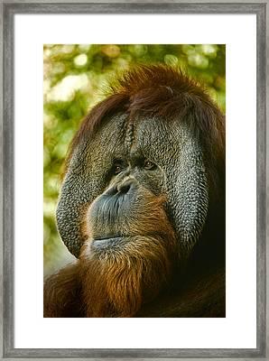 Close Up Portrait Of Orangutan Framed Print