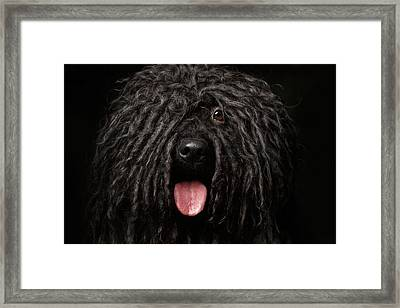 Close Up Portrait Of Puli Dog Isolated On Black Framed Print