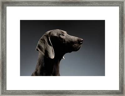 Close-up Portrait Weimaraner Dog In Profile View On White Gradient Framed Print by Sergey Taran