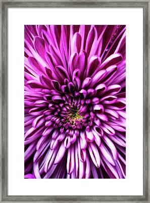 Close Up Purple Mum Framed Print