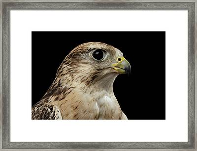 Close-up Saker Falcon, Falco Cherrug, Isolated On Black Background Framed Print
