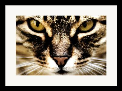 Felis Catus Framed Prints
