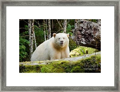 Close Up Spirit Bear Framed Print by Melody Watson