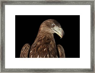Close-up White-tailed Eagle, Birds Of Prey Isolated On Black Bac Framed Print by Sergey Taran