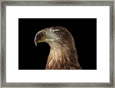 Close-up White-tailed Eagle, Birds Of Prey Isolated On Black Background Framed Print
