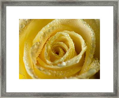 Close Up Yellow Rose Framed Print