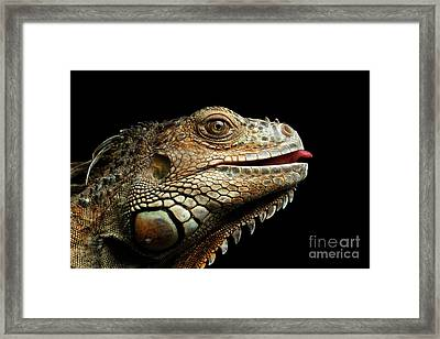 Close-upgreen Iguana Isolated On Black Background Framed Print