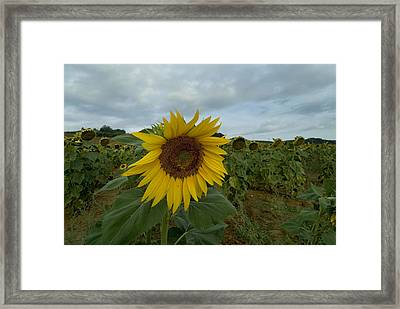 Close View Of A Sunflower In A Field Framed Print by Todd Gipstein