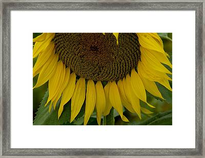 Close View Of A Sunflower In Tuscany Framed Print by Todd Gipstein