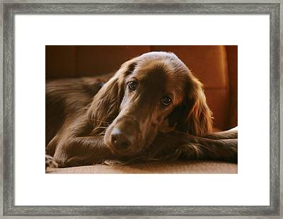 Close View Of An Irish Setter Relaxing Framed Print by Brian Gordon Green