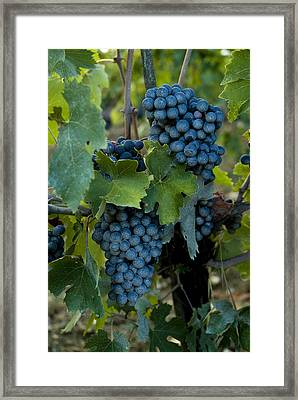 Close View Of Chianti Grapes Growing Framed Print by Todd Gipstein