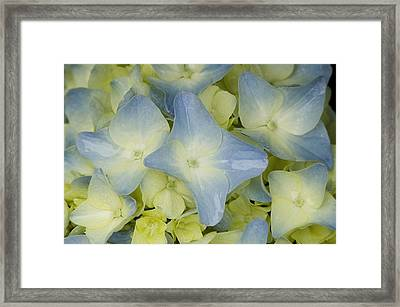 Close View Of Hydrangea Flower Framed Print by Todd Gipstein