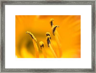 Close View Of The Stamen Of A Yellow Framed Print by Todd Gipstein