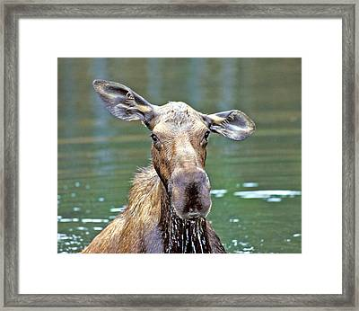 Close Wet Moose Framed Print