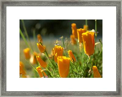Closed California Poppies Framed Print by Chris Gudger