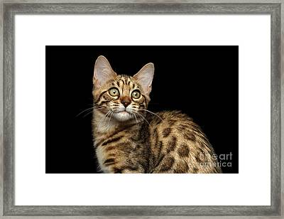 Closeup Bengal Kitty On Isolated Black Background Framed Print by Sergey Taran