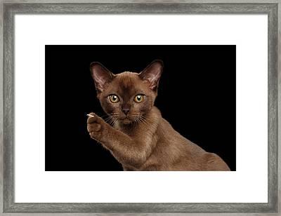 Closeup Burmese Kitten Showing Claw On Raised Paw, Black Isolated  Framed Print by Sergey Taran