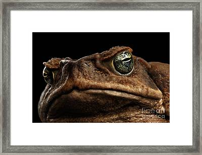Closeup Cane Toad - Bufo Marinus, Giant Neotropical Or Marine Toad Isolated On Black Background Framed Print