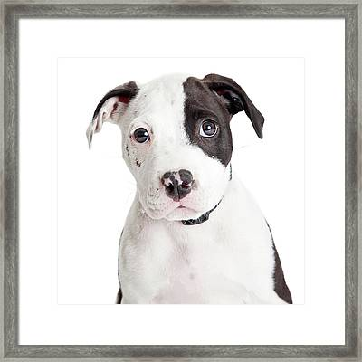Closeup Cute Pit Bull Puppy Framed Print