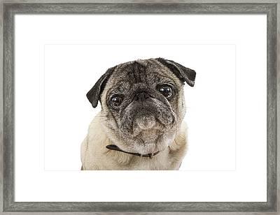 Closeup Cute Pug Dog Face Framed Print