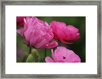 Closeup Deep Peony Pink Ranunculus Framed Print
