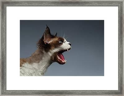 Closeup Devon Rex Hisses In Profile View On Gray  Framed Print by Sergey Taran