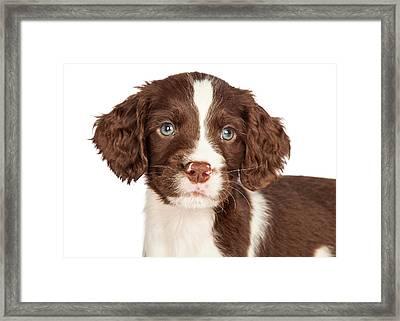 Closeup English Springer Spaniel Puppy Framed Print by Susan Schmitz