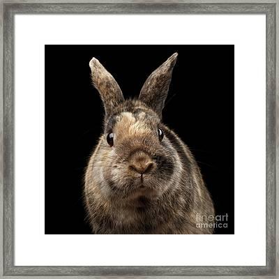 Closeup Funny Little Rabbit, Brown Fur, Isolated On Black Backgr Framed Print by Sergey Taran