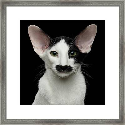 Closeup Funny Oriental Shorthair Looking At Camera Isolated, Bla Framed Print