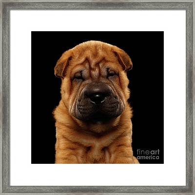 Closeup Funny Sharpei Puppy Isolated On Black Framed Print by Sergey Taran
